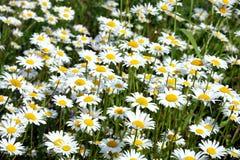 Серия маргаритки поля цветет на луге в крупном плане летнего дня Стоковые Изображения