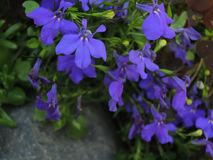 Серия малых голубых цветков вокруг серого камня Стоковые Фотографии RF