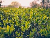 Серия малых листьев зеленого цвета на кусте Стоковая Фотография RF