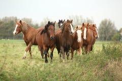 Серия молодых ponnies на pasturage осени Стоковое Изображение RF