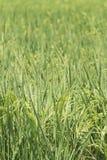 Серия 1/8 поля риса Стоковое Изображение RF