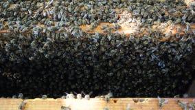 Серия пчел на улье сток-видео
