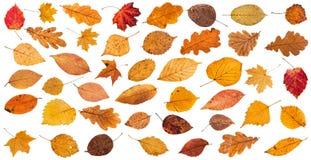 серия различных высушенных изолированных листьев упаденных осенью Стоковые Фото