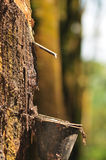 серия резины плантации Стоковое фото RF