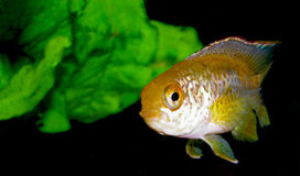 Серия рыб аквариума от семьи cichlidae Стоковые Фотографии RF