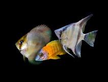 Серия рыб аквариума от семьи cichlidae Стоковые Изображения