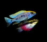 Серия рыб аквариума от семьи cichlidae Стоковое фото RF