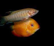 Серия рыб аквариума от семьи cichlidae Стоковые Изображения RF