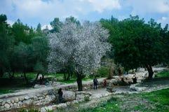 Серия Святой Земли - миндальное дерево в парке Ayalon Стоковые Фотографии RF