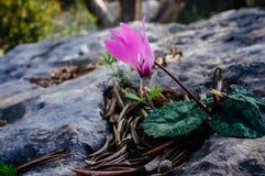 Серия Святой Земли - cyclamen близкий вверх в парке Ayalon Стоковое фото RF