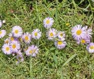 Серия стоцветов среди зеленой травы Стоковое Изображение RF