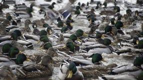 Серия уток в пруде зимы Стоковые Фотографии RF