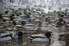 Серия уток в пруде зимы Стоковое Изображение