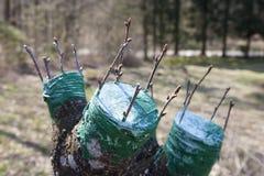 СЕРИЯ ФОТО прививая фруктовое дерев дерево Стоковые Фотографии RF