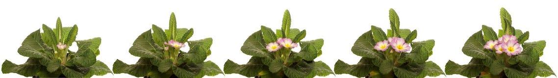 Серия цветка первоцвета Стоковые Изображения