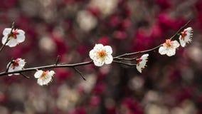 Серия цветков весной: белые bloss сливы (mei Bai в китайце) Стоковое Изображение RF