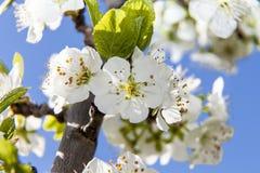 Серия цветков весной: слива blossoming весной, o Стоковая Фотография