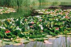 Серия цветков лилий воды красных центризует озеро Стоковая Фотография RF