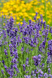 Серия цветков фиолетовой лаванды зацветая в саде стоковое изображение rf