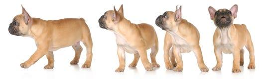 Серия щенка Стоковое Фото