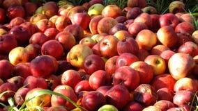 серия яблок Стоковое фото RF