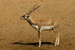 серия blackbuck антилопы стоковое фото
