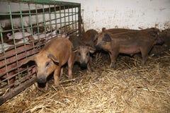 Серия newborn поросят на био скотном дворе Стоковая Фотография