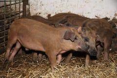 Серия newborn поросят на био скотном дворе Стоковое Изображение RF