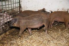 Серия newborn поросят на био скотном дворе Стоковое Изображение