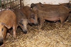 Серия newborn поросят на современном био скотном дворе Стоковое Изображение