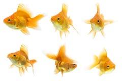 серия ryukin goldfish Стоковые Изображения