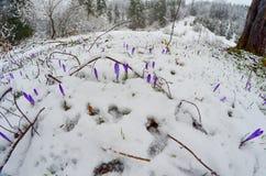 Серия Saffrons в последнем снеге Стоковые Фотографии RF
