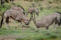 2 сернобыка воюя в траве Стоковые Фотографии RF