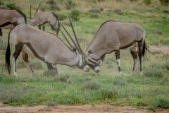 2 сернобыка воюя в траве Стоковая Фотография RF