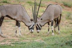 2 сернобыка воюя в траве Стоковое Фото