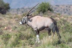 Сернобык в национальном парке зебры горы Стоковое Изображение