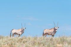 Сернобык 2 в национальном парке зебры горы Стоковое фото RF