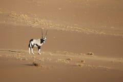 Сернобык в пустыне naukluft namib стоковая фотография rf