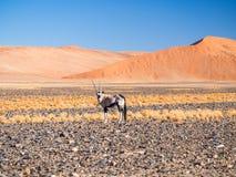 Сернобык газеля сернобыка в Намибии, Африке Стоковая Фотография RF