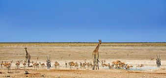 Сернобык жирафа, прыгуна, зебры & сернобыка Стоковые Фотографии RF