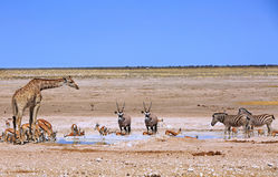 Сернобык жирафа, прыгуна, зебры & сернобыка Стоковые Фото
