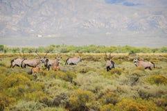 Антилопы сернобыка с calfs на юге - африканским кустом Стоковые Изображения