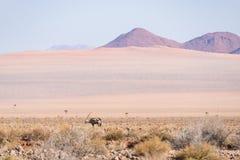 Сернобык пася в пустыне Namib, национальный парк Namib Naukluft, назначение перемещения в Намибии, Африке стоковые изображения