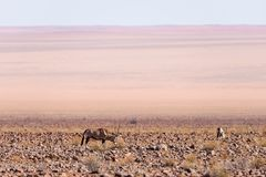 Сернобык пася в пустыне Namib, национальный парк Namib Naukluft, назначение перемещения в Намибии, Африке стоковое изображение