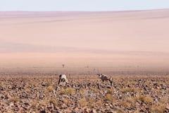 Сернобык пася в пустыне Namib, национальный парк Namib Naukluft, назначение перемещения в Намибии, Африке стоковое изображение rf