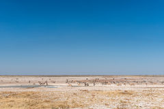 Сернобык, прыгун, страус и зебры Burchells на waterhole Стоковая Фотография RF