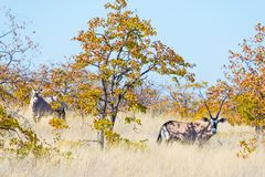 Сернобык пряча в кусте Сафари в национальном парке Mapungubwe, назначение живой природы перемещения в Южной Африке стоковая фотография rf