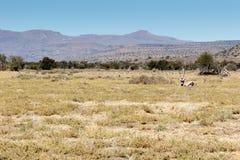 Сернобык сернобыка - национальный парк зебры горы Стоковая Фотография RF