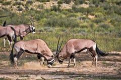 Сернобык, gazella gazella сернобыка, мужской бой, Kalahari, Южная Африка Стоковая Фотография