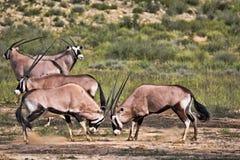 Сернобык, gazella gazella сернобыка, мужской бой, Kalahari, Южная Африка Стоковое Изображение RF